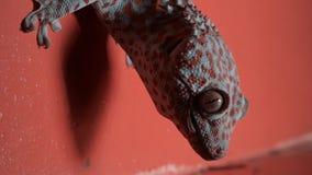 Gecko på den orange väggen i ultrarapid stock video