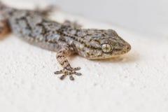 Gecko på en vägg i Spanien arkivfoton