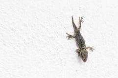 Gecko på en vit vägg royaltyfria foton