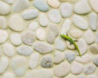 Gecko på stenväggen Arkivfoton