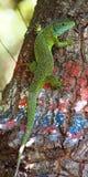 Gecko på träd med Hicking teckning arkivfoto