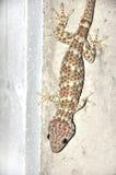 Gecko på väggen. Arkivbilder