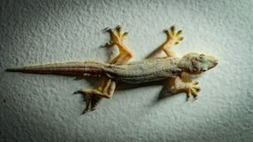 Gecko på väggen royaltyfria bilder