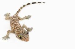 Gecko på vit bakgrund Royaltyfri Foto