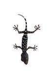 Gecko på vita äckelar för en bakgrund Royaltyfri Foto