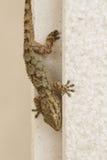 Gecko på en vägg i Spanien Arkivbild