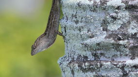 Gecko on a palm tree stock footage