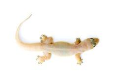 Gecko. Pequeño lagarto. fotos de archivo