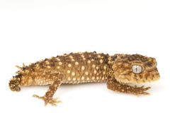 Gecko Perilla-atado áspero de Centralian Foto de archivo libre de regalías