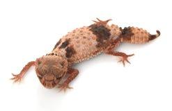 Gecko Perno-munito legato fotografia stock libera da diritti