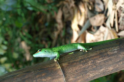 Gecko - Phelsuma madagascariensis Royalty Free Stock Photography