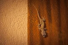 Gecko, Philippines Photo stock