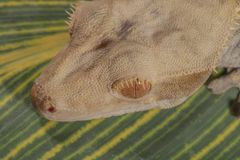 Great crested gecko. Gecko photo taken from above stock photography