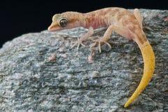 Gecko pigmeo fotografie stock libere da diritti