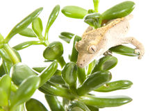 Gecko on plant Royalty Free Stock Photos
