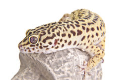 Gecko portrait closeup Stock Images