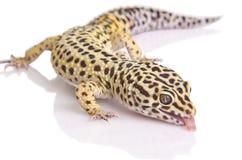 Gecko portrait closeup. A leopard gecko close up on over white background stock photo