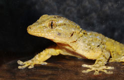 Gecko portrait Stock Images