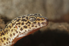 Gecko portrait Royalty Free Stock Image