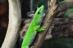 Gecko Portrait Stock Photo