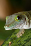 Gecko portrait Royalty Free Stock Photos