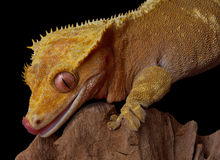 Gecko que lame los labios fotografía de archivo libre de regalías
