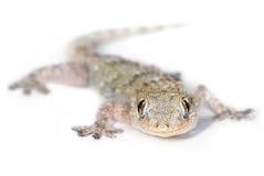 Gecko que le mira imagen de archivo libre de regalías