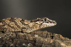 Gecko réticulé de gargouille sur une branche images libres de droits