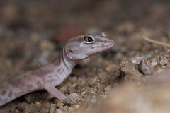 Gecko réuni par désert photo stock
