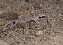 Gecko réuni par désert photographie stock