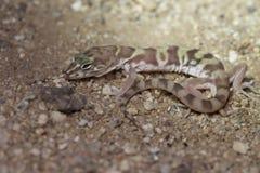 Gecko réuni par désert images stock