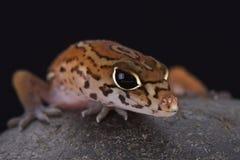 Gecko réuni par n de ¡ de Yucatà (elegans de Coleonyx) photographie stock