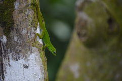 Gecko in rain forest royalty free stock photos