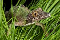 Gecko rampant par l'herbe images libres de droits