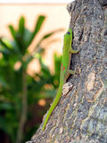 Gecko rampicante Fotografie Stock