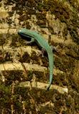 Gecko rare de vert de turquoise images stock