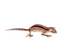 Gecko rayé de Feuille-queue, lineatus d'Uroplatus sur le blanc photos stock