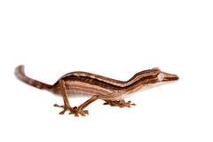 Gecko rayé de Feuille-queue, lineatus d'Uroplatus sur le blanc photo stock