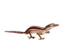 Gecko rayé de Feuille-queue, lineatus d'Uroplatus sur le blanc image libre de droits