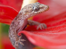 Gecko on red flower close-up Stock Photos