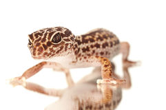 Gecko with reflection Royalty Free Stock Images