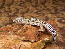 Gecko repéré par léopard Images stock