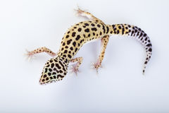 Gecko reptile. Young Leopard gecko a white background royalty free stock photos