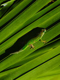 Gecko Stock Photography
