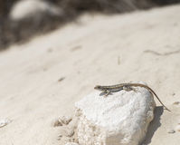 A gecko rests on a white rock Stock Photo