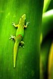 Gecko Reunion Island Lizenzfreie Stockfotos