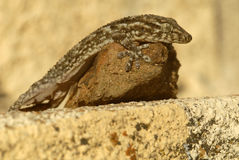 Gecko on the rock in the sun Stock Photo