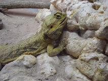 Gecko. A Gecko On Rocks stock images