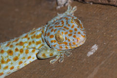 The gecko on roof Royalty Free Stock Image