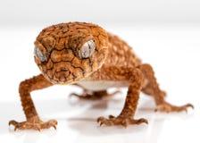 Gecko, Rough Knob, Centralian Stock Images